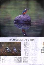 カワセミヤマセミ.jpg