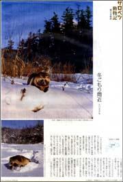 サロベツエゾタヌキ.jpg