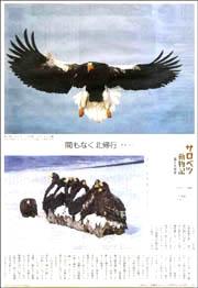 サロベツオオワシ180.jpg