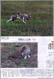サロベツ・ユキウサギ.jpg
