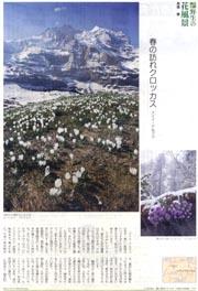 世界花風景・クロッカス.jpg