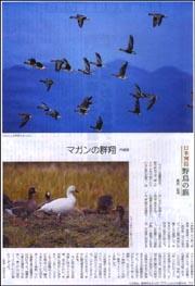 野鳥・マガン宍道湖.jpg