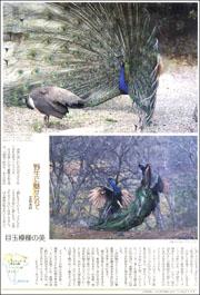 14101934peacock180.jpg